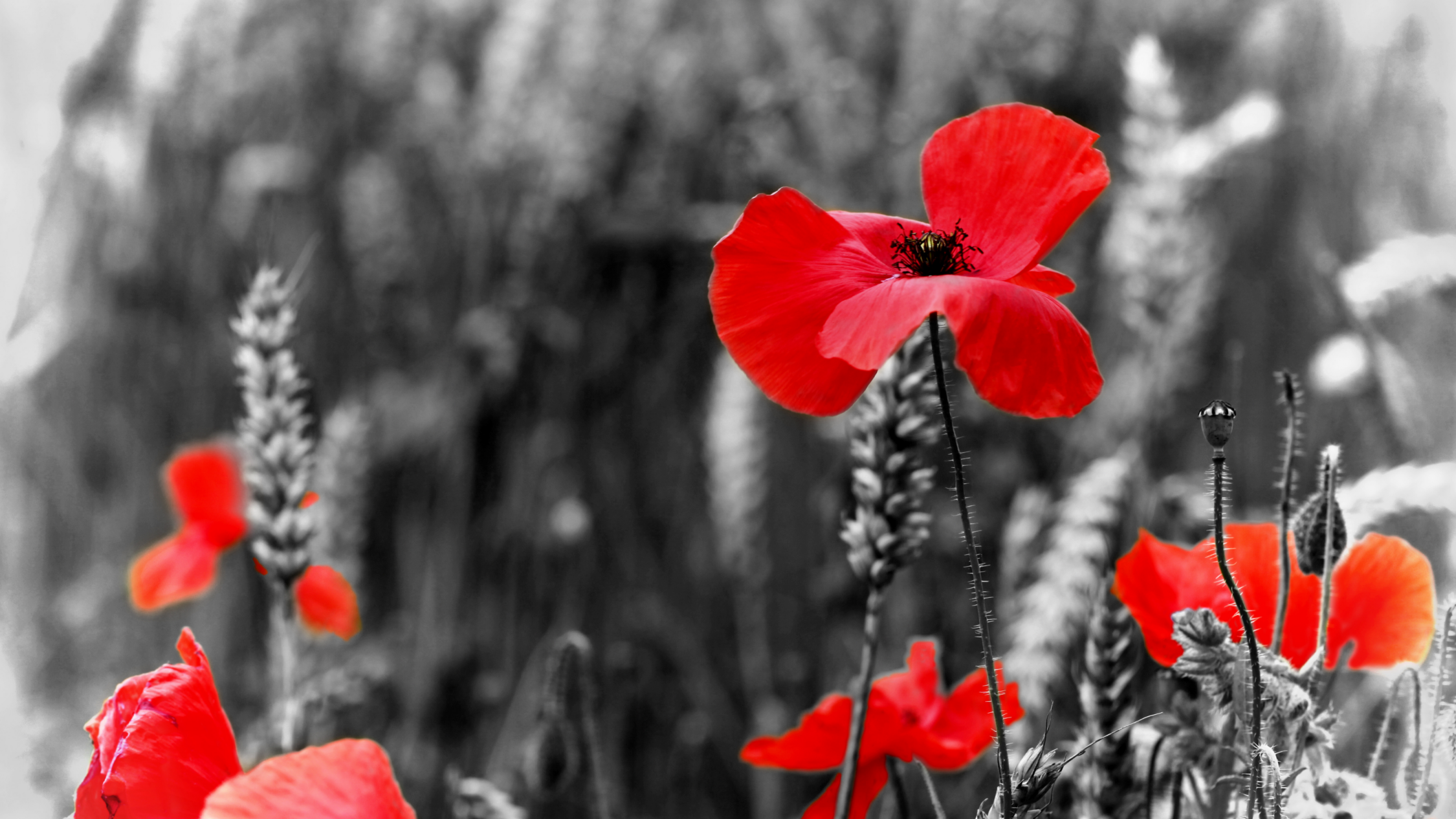 Red poppies. Remembrance Day